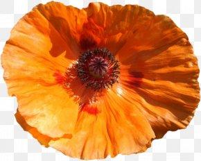 Creative Cartoon Decorative Floral Pattern Image - Poppy Flower Clip Art PNG