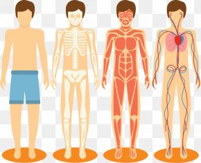 Hand-painted Vector Human Skeleton - Homo Sapiens Human Body Muscle Human Skeleton Bone PNG