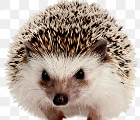 Hedgehog - Background Lesions In Laboratory Animals Dog Llama Pet PNG