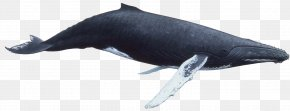 Whale - Humpback Whale Killer Whale PNG