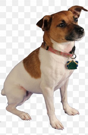 Dog - Jack Russell Terrier Cat Pest-Sniffing Dogs Bed Bug PNG