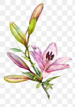 Hand-painted Lily - Lilium Watercolor Painting Drawing Illustration PNG