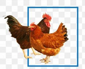 Chicken Fillet - New Hampshire Chicken Rhode Island Red Sussex Chicken Cochin Chicken Plymouth Rock Chicken PNG