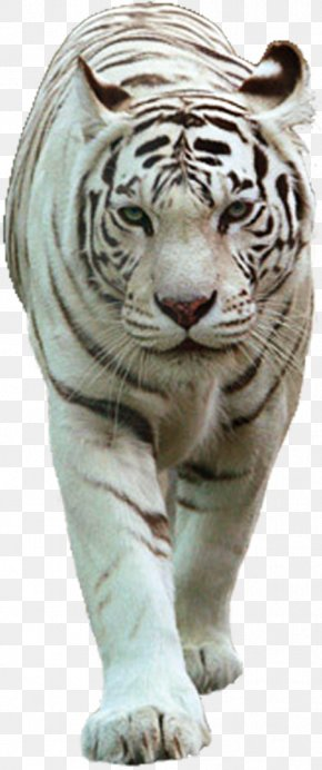 Lion - Felidae White Tiger Lion PNG