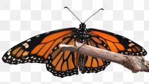 Butterfly Transparent Monarch - Monarch Butterfly Insect Milkweed Butterflies Peacock Butterfly PNG