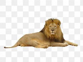 Lion - Lion Felidae Big Cat PNG