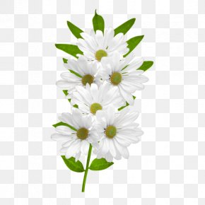 White Daisies Clipart - Flower Common Daisy Clip Art PNG