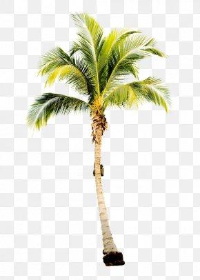 Ocean Watercolor - Arecaceae Tree Coconut Subtropics Areca Palm PNG