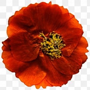 Marigold - Mexican Marigold Flower Poppy Annual Plant Clip Art PNG