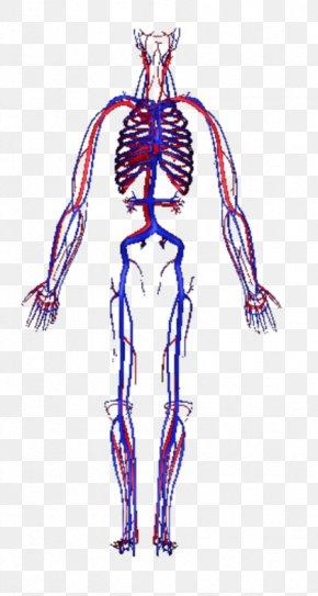 Human Body 3D - Circulatory System Human Body Blood Vessel Homo Sapiens PNG