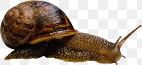 Snail - Sea Snail Slug Terrestrial Animal Compact Disc PNG