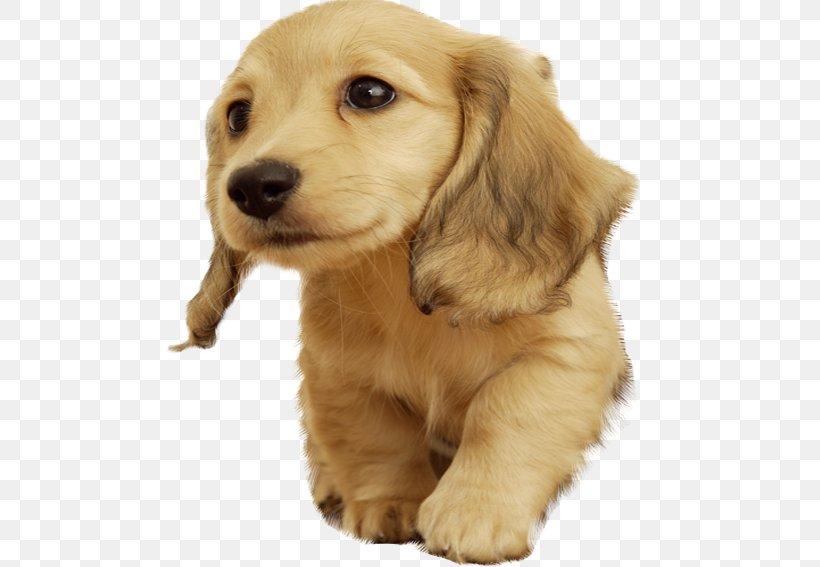 Golden Retriever Puppy Cuteness Wallpaper Png 567x567px