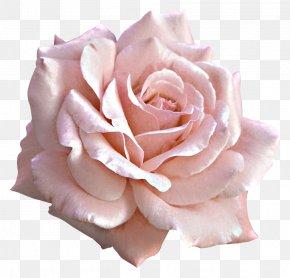 Large Light Pink Rose Clipart - Rose Pink Flower Clip Art PNG