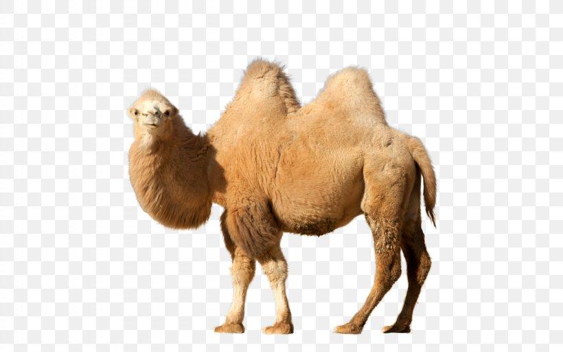 Dromedary Clip Art, PNG, 2560x1600px, Bactrian Camel, Arabian Camel, Camel, Camel Like Mammal, Dromedary Download Free