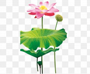 Lotus Leaf - Paper Sticker Wall Decal Mural PNG