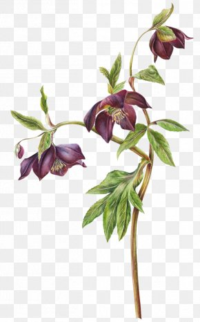 Lavender Drawing Botanical Illustration - Watercolor Painting Hellebore Drawing Botanical Illustration PNG