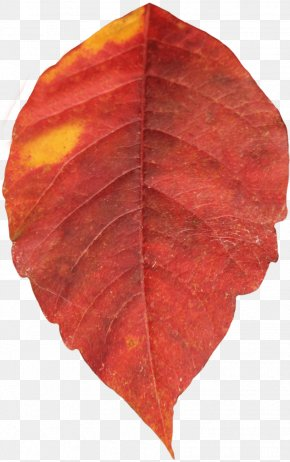 Red Autumn Leaf - Autumn Leaf Color PNG