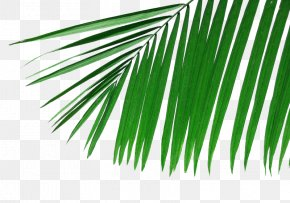 Palm Leaves Picture Material - Arecaceae Palm Branch Leaf Frond Wallpaper PNG