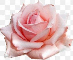 Roses - Garden Roses Pink Flower Clip Art PNG