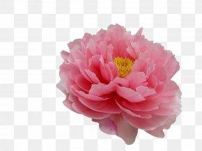 Peony - Moutan Peony Flower Tree Peony Paeonia Coral Charm PNG
