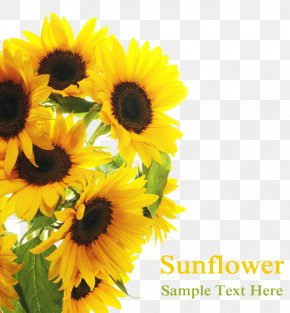 Sun Flowers In Full Bloom - Common Sunflower Royalty-free Clip Art PNG