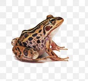 Frog Prince - Frog Clip Art PNG