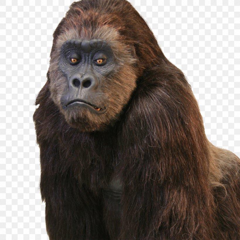 Western Gorilla Common Chimpanzee Hollywood Primate Gorilla Suit, PNG, 1200x1200px, Western Gorilla, Ape, Chimpanzee, Common Chimpanzee, Costume Download Free