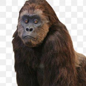 Gorilla - Western Gorilla Common Chimpanzee Hollywood Primate Gorilla Suit PNG