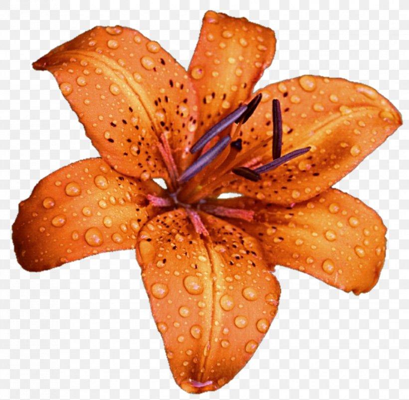 Lilium Bulbiferum Flower DeviantArt Stock Photography Clip Art, PNG, 903x884px, Lilium Bulbiferum, Deviantart, Flower, Lilium, Livejournal Download Free