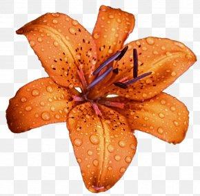 Lily - Lilium Bulbiferum Flower DeviantArt Stock Photography Clip Art PNG