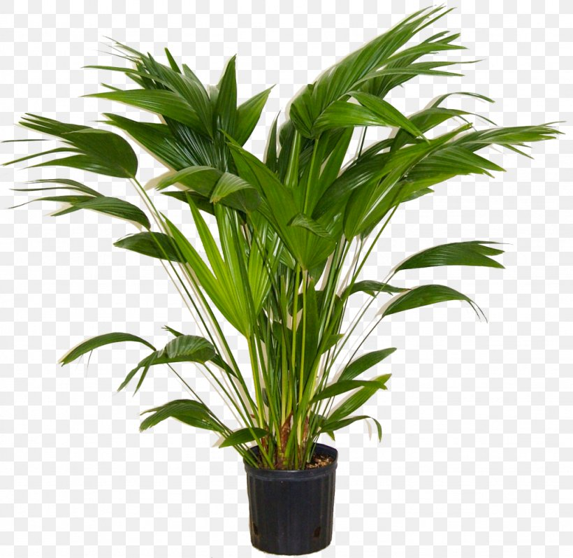 Areca Palm Houseplant Indoor Plants Livistona Chinensis, PNG ... on palm christmas, palm rats, palm vector, palm chamaedorea seifrizii, palm shoot, palm bamboo, palm leaf chickee, palm roses, palm drawing, palm flowers, palm seeds, palm beetle, palm shrubs, palm bonsai, palm trees, palm leaf cut out, palm tr, palm diagram, palm pattern, palm border,
