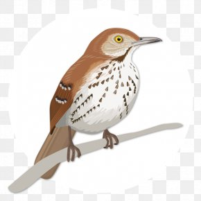 Large Birds - House Sparrow Birdwatching Wren Brown Thrasher PNG