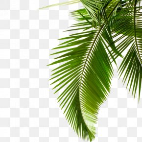 Green Palm Leaves - Sago Palm Leaf Arecaceae Stock Photography Cycad PNG