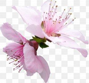 Flower - Blossom Petal Flower Garden Roses Apples PNG