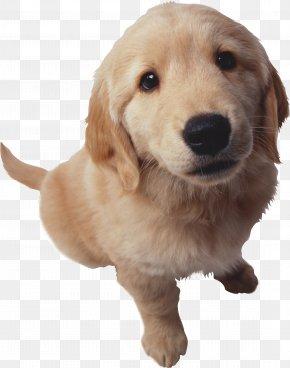 Puppy - Puppy Golden Retriever Bulldog Goldendoodle Cat PNG