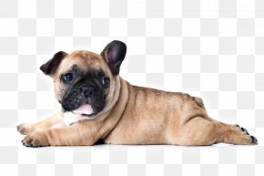 Puppy - French Bulldog Puppy Dog Breed Stock Photography PNG