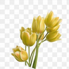 Tulip - Tulip Yellow Flower PNG