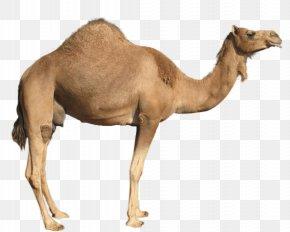 Camel Image - Camel Clip Art PNG