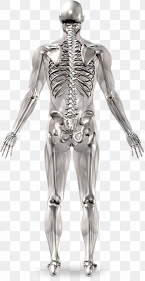 Human Bones - Human Skeleton Joint Anatomy Human Body PNG