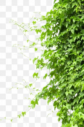 Creeper - Vine Tree Branch PNG