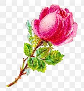 Watercolor Paint Rosa Rubiginosa - Watercolor Pink Flowers PNG