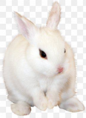 White Bunny Clipart Image - Domestic Rabbit Wikia PNG