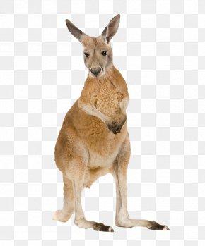 Blush - Red Kangaroo Miniature Pinscher Belgian Hare Roe Deer Foal PNG