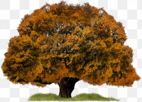 Autumn Tree - Tree Download PNG