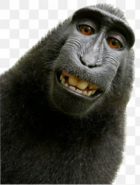 Monkey - Celebes Crested Macaque Monkey Selfie Primate PNG
