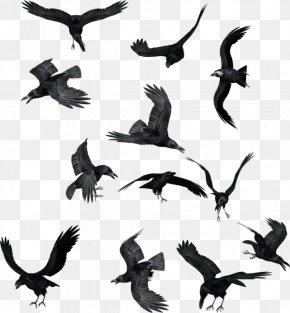 Raven/ - Bird Common Raven Clip Art PNG