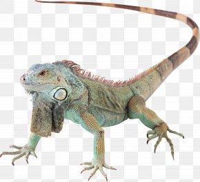 Lizard - Lizard Reptile Green Iguana PNG