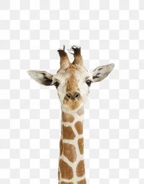 The White Giraffe Reticulated Giraffe Northern Giraffe Animal Cuteness PNG