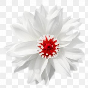 White Chamomile - German Chamomile Flower PNG