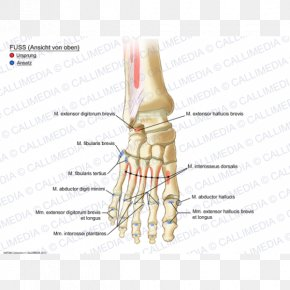 Anatomy Of The Human Body - Thumb Muscle Foot Ankle Anatomy PNG